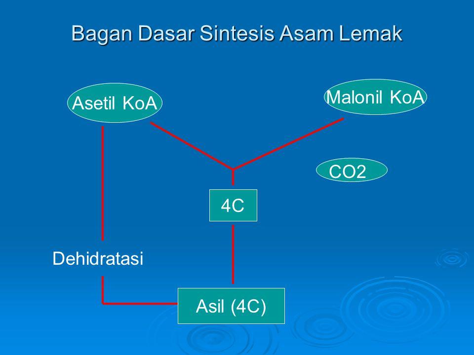 Bagan Dasar Sintesis Asam Lemak Asetil KoA Malonil KoA 4C Asil (4C) CO2 Dehidratasi