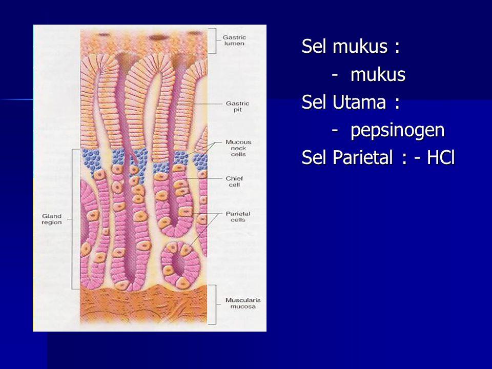 Sel mukus : Sel mukus : - mukus - mukus Sel Utama : Sel Utama : - pepsinogen - pepsinogen Sel Parietal : - HCl Sel Parietal : - HCl
