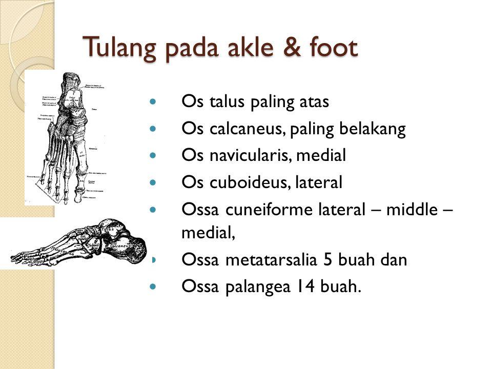 Tulang pada akle & foot Os talus paling atas Os calcaneus, paling belakang Os navicularis, medial Os cuboideus, lateral Ossa cuneiforme lateral – midd