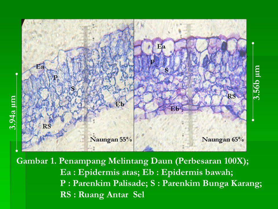Gambar 1. Penampang Melintang Daun (Perbesaran 100X); Ea : Epidermis atas; Eb : Epidermis bawah; P : Parenkim Palisade; S : Parenkim Bunga Karang; RS