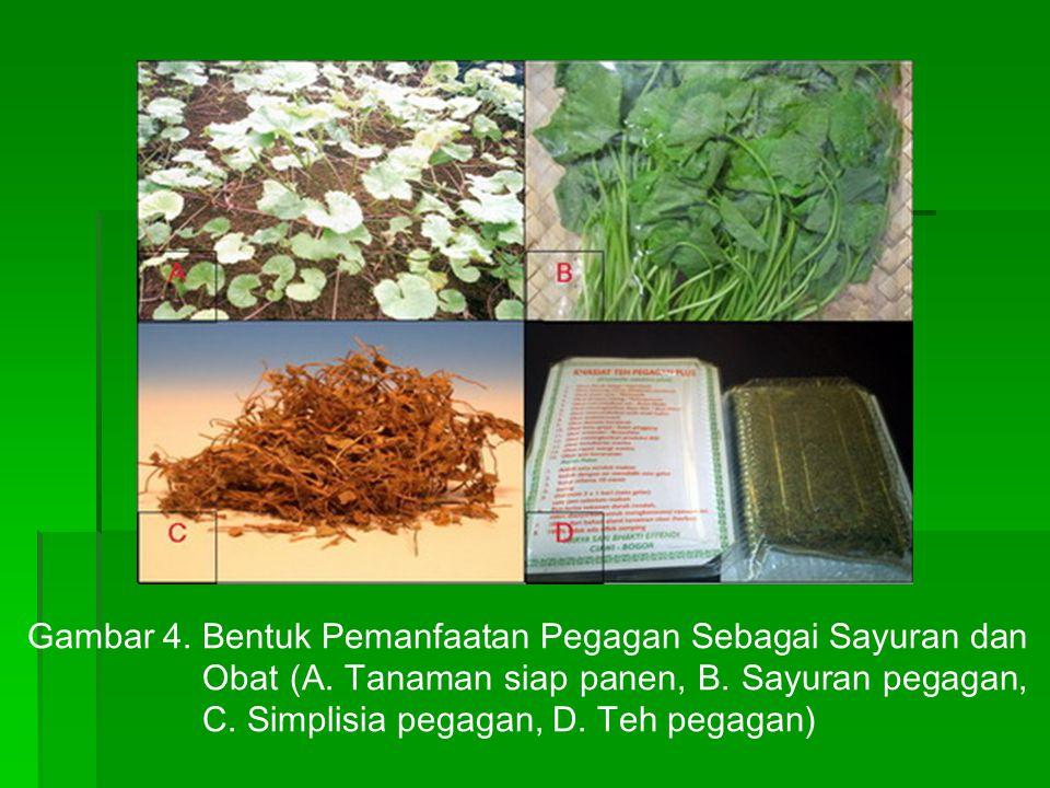 Gambar 4.Bentuk Pemanfaatan Pegagan Sebagai Sayuran dan Obat (A. Tanaman siap panen, B. Sayuran pegagan, C. Simplisia pegagan, D. Teh pegagan)