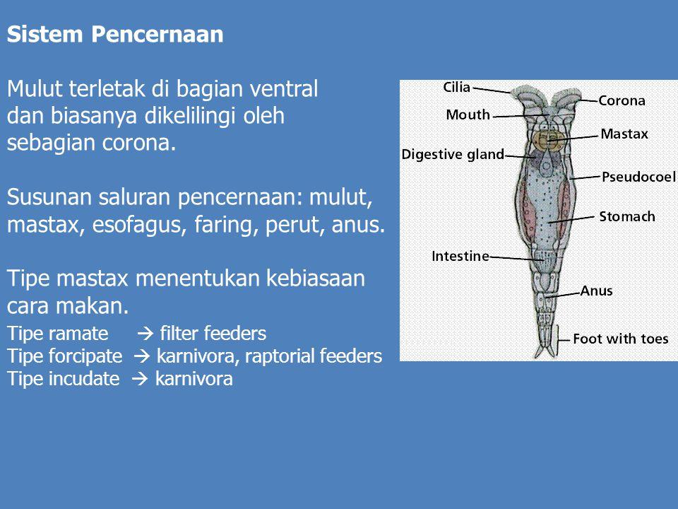Sistem Pencernaan Mulut terletak di bagian ventral dan biasanya dikelilingi oleh sebagian corona.