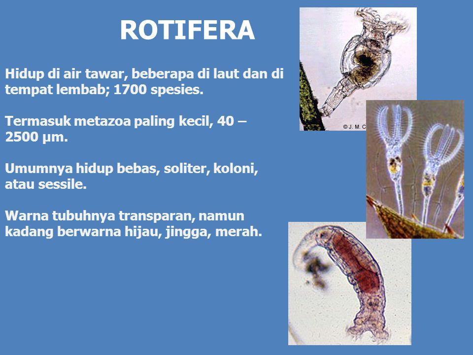 Morfologi dan Anatomi Tubuh rotifera dibagi menjadi tiga bagian: Anterior, Badan, dan Posterior.