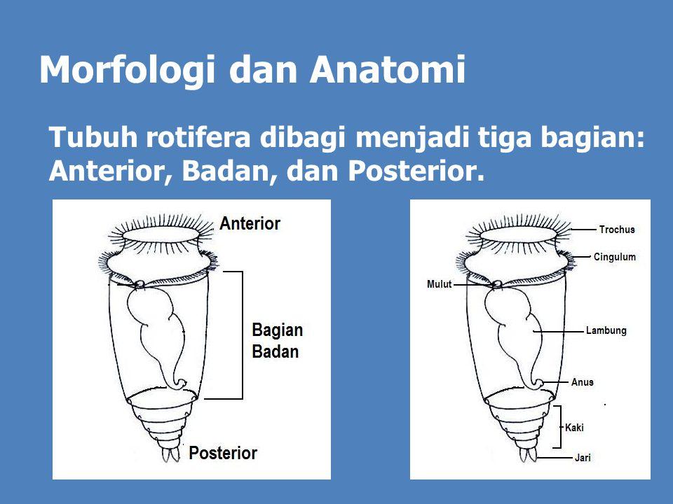 Bentuk badan bulat atau silindris.Pada bagian badan terdapat tiga buah tonjolan kecil.