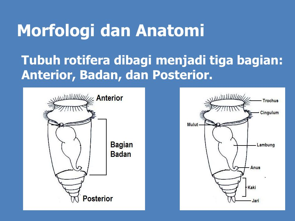 Daur Hidup Rotifera