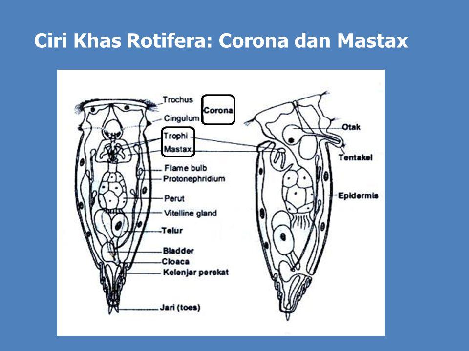 A B C Tiga macam trophi mastax, A. Tipe ramate; B. Tipe forcipate; C. Tipe incudate Mastax