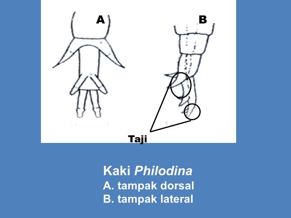 Taji AB Kaki Philodina A. tampak dorsal B. tampak lateral