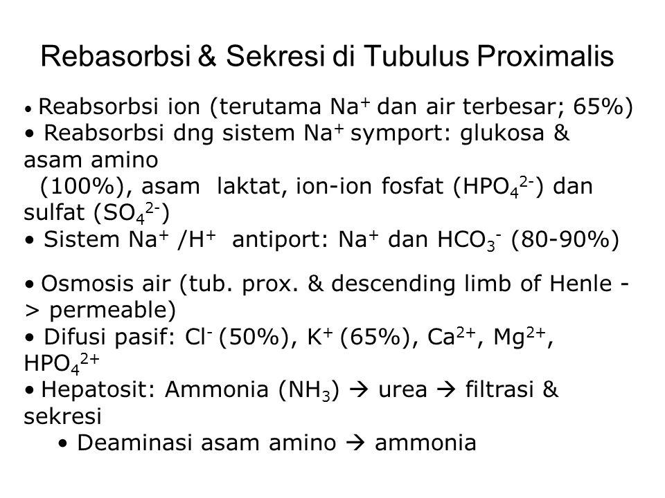 Rebasorbsi & Sekresi di Tubulus Proximalis Reabsorbsi ion (terutama Na + dan air terbesar; 65%) Reabsorbsi dng sistem Na + symport: glukosa & asam ami
