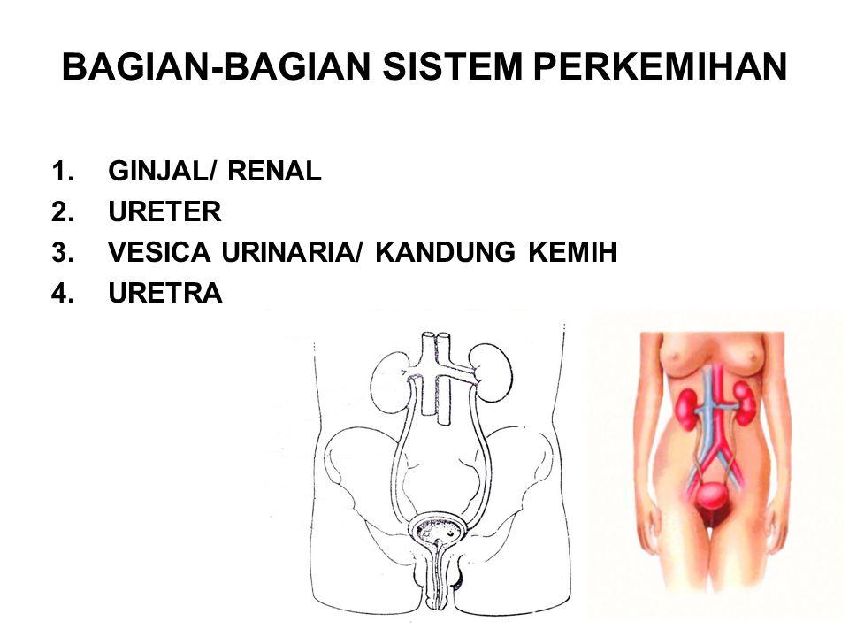 Ginjal Ginjal adalah suatu sistem yang mengeluarkan sekret urine, yang terletak pada dinding posterior abdomen, terutama di daerah lumbal, di sebelah kanan dan kiri tulang belakang, dibungkus lapisan lemak yang tebal, di belakang peritoneum, dan karena itu di luar rongga peritoneum.