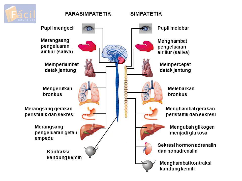PARASIMPATETIKSIMPATETIK Pupil mengecilPupil melebar Merangsang pengeluaran air liur (saliva) Menghambat pengeluaran air liur (saliva) Memperlambat detak jantung Mengerutkan bronkus Merangsang gerakan peristaltik dan sekresi Merangsang pengeluaran getah empedu Kontraksi kandung kemih Mempercepat detak jantung Melebarkan bronkus Menghambat gerakan peristaltik dan sekresi Mengubah glikogen menjadi glukosa Sekresi hormon adrenalin dan nonadrenalin Menghambat kontraksi kandung kemih