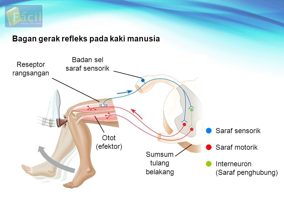 Bagan gerak refleks pada kaki manusia Reseptor rangsangan Badan sel saraf sensorik Otot (efektor) Sumsum tulang belakang Saraf sensorik Saraf motorik Interneuron (Saraf penghubung)