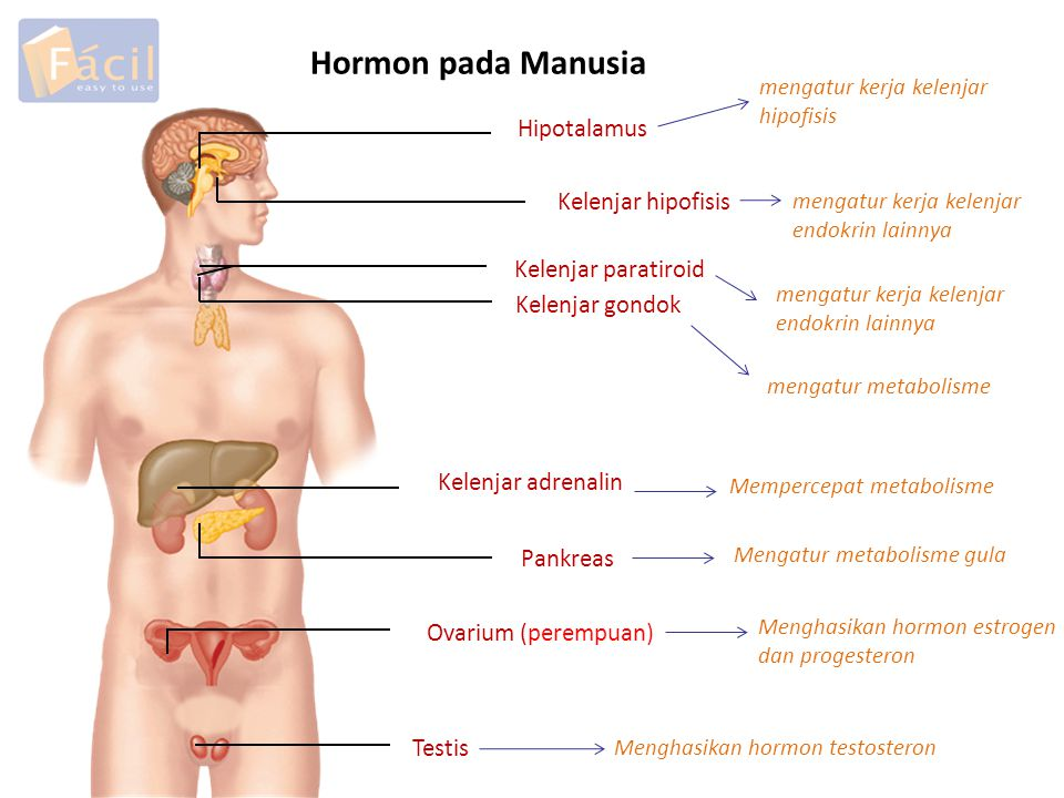Hormon pada Manusia Hipotalamus Kelenjar hipofisis Kelenjar paratiroid Kelenjar gondok Kelenjar adrenalin Pankreas Ovarium (perempuan) Testis mengatur kerja kelenjar hipofisis mengatur kerja kelenjar endokrin lainnya mengatur metabolisme Mempercepat metabolisme Mengatur metabolisme gula Menghasikan hormon estrogen dan progesteron Menghasikan hormon testosteron