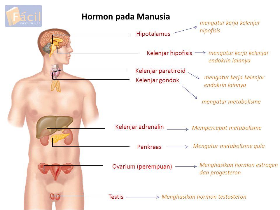 Hormon pada Manusia Hipotalamus Kelenjar hipofisis Kelenjar paratiroid Kelenjar gondok Kelenjar adrenalin Pankreas Ovarium (perempuan) Testis mengatur