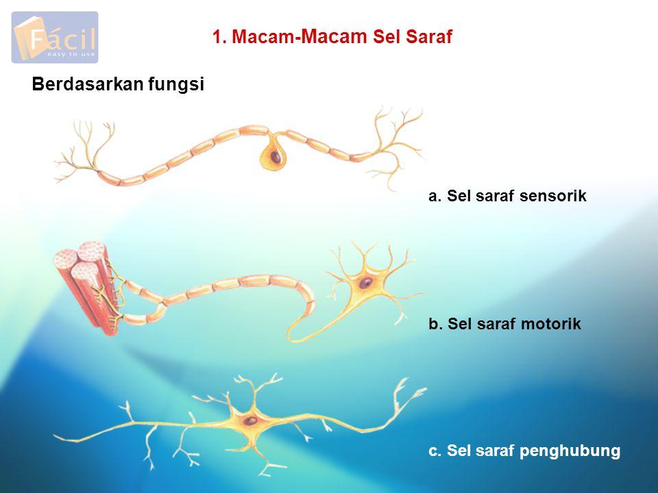 1. Macam- Macam Sel Saraf a. Sel saraf sensorik b. Sel saraf motorik c. Sel saraf penghubung Berdasarkan fungsi