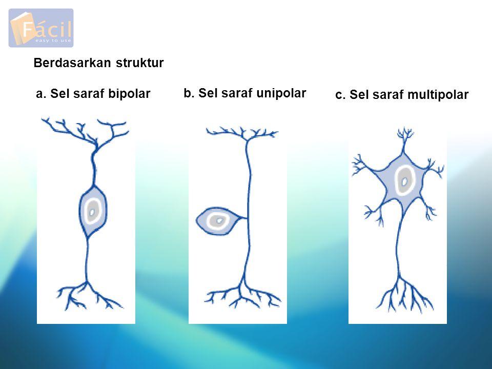 Berdasarkan struktur b. Sel saraf unipolar a. Sel saraf bipolar c. Sel saraf multipolar