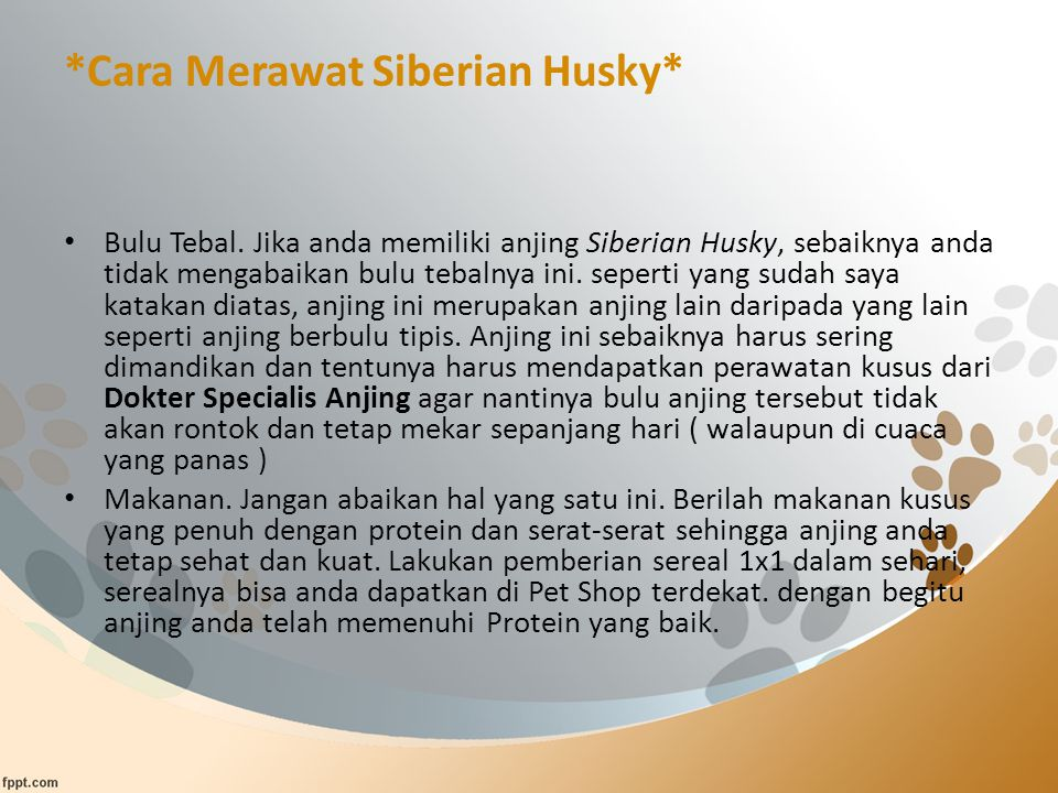 *Cara Merawat Siberian Husky* Bulu Tebal.