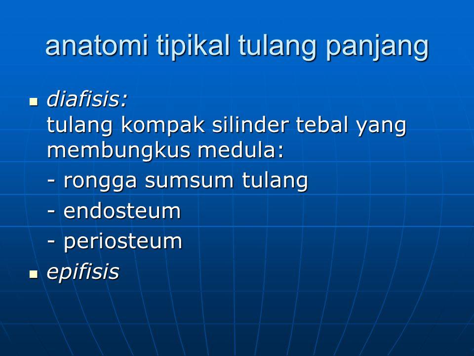 anatomi tipikal tulang panjang diafisis: tulang kompak silinder tebal yang membungkus medula: diafisis: tulang kompak silinder tebal yang membungkus m