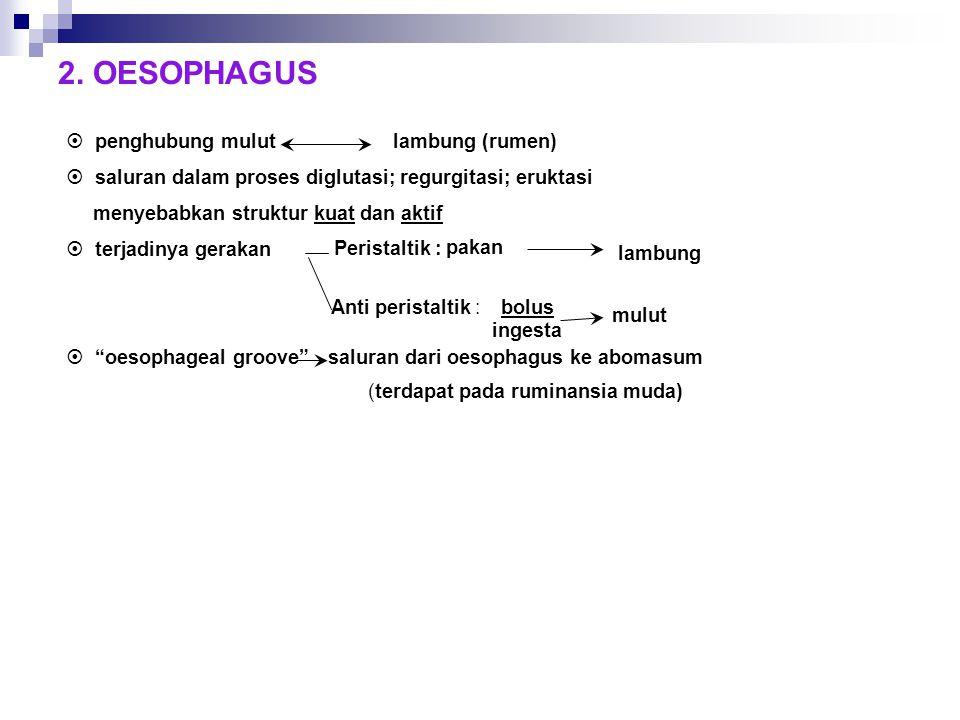 2. OESOPHAGUS  penghubung mulut lambung (rumen)  saluran dalam proses diglutasi; regurgitasi; eruktasi menyebabkan struktur kuat dan aktif  terjadi