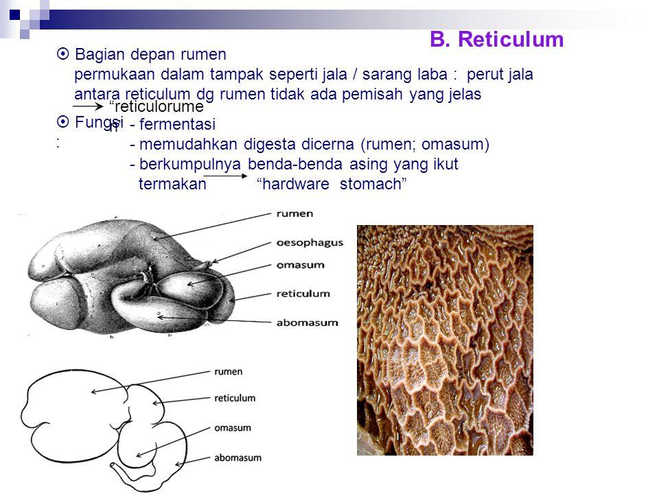 B. Reticulum  Bagian depan rumen permukaan dalam tampak seperti jala / sarang laba : perut jala antara reticulum dg rumen tidak ada pemisah yang jela