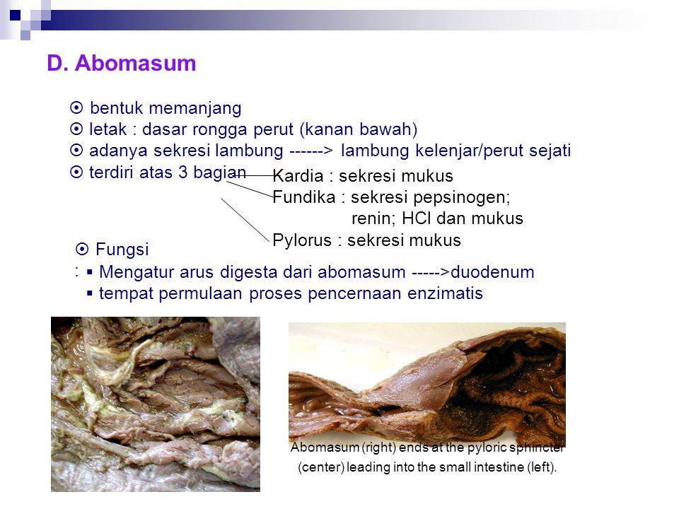 D. Abomasum  bentuk memanjang  letak : dasar rongga perut (kanan bawah)  adanya sekresi lambung ------> lambung kelenjar/perut sejati  terdiri ata