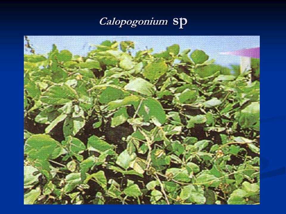 Calopogonium sp