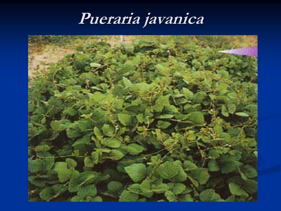 Pueraria javanica