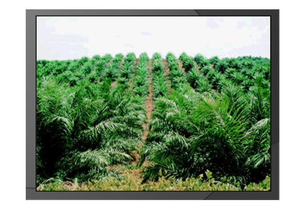 Pengolahan minyak kelapa : 1.