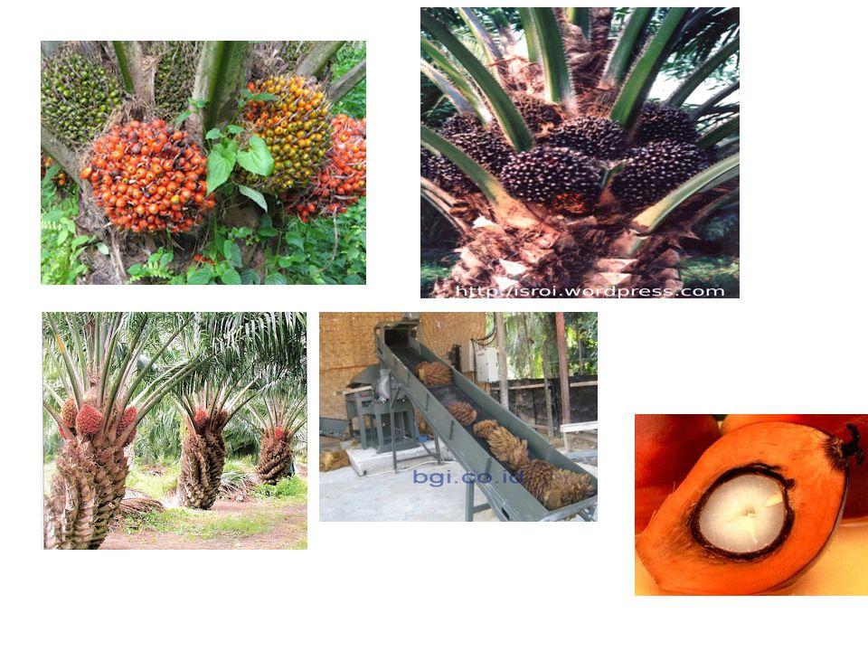 Alat rebus kelapa sawit Pabrik Kelapa Sawit (PKS), Boiler sebagai jantung pabrik  uap yang dihasilkan digunakan untuk : 1.