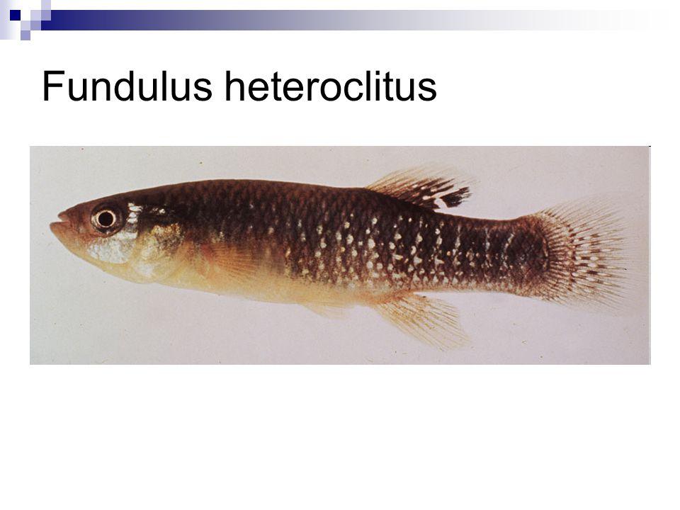 Fundulus heteroclitus
