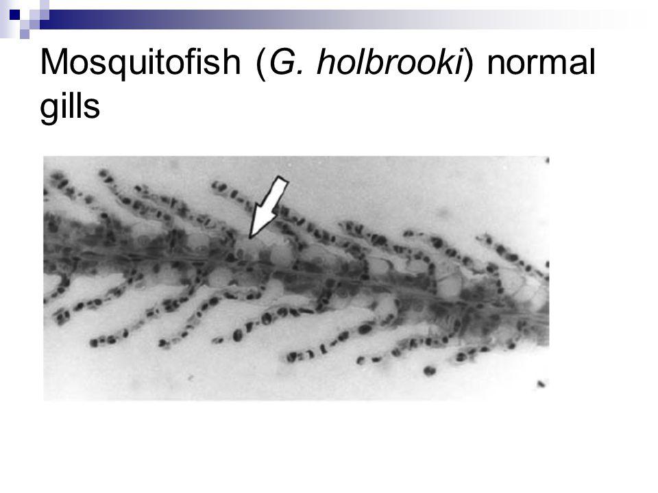 Mosquitofish (G. holbrooki) normal gills