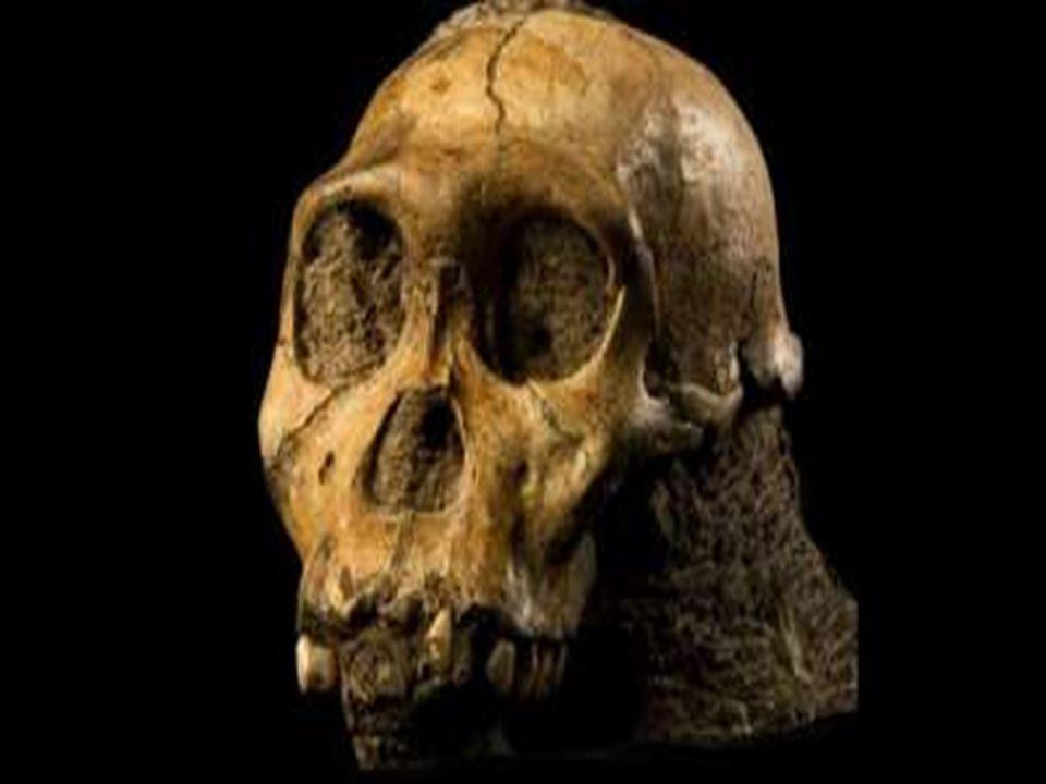 P ITHECANTROPUS Pithecantropus adalah manusia kera yang berjalan tegak Diperkirakan hidup antara 30 ribu sampai 2 juta tahun yang lalu Pithecantropus memiliki beberapa jenis yaitu: a.