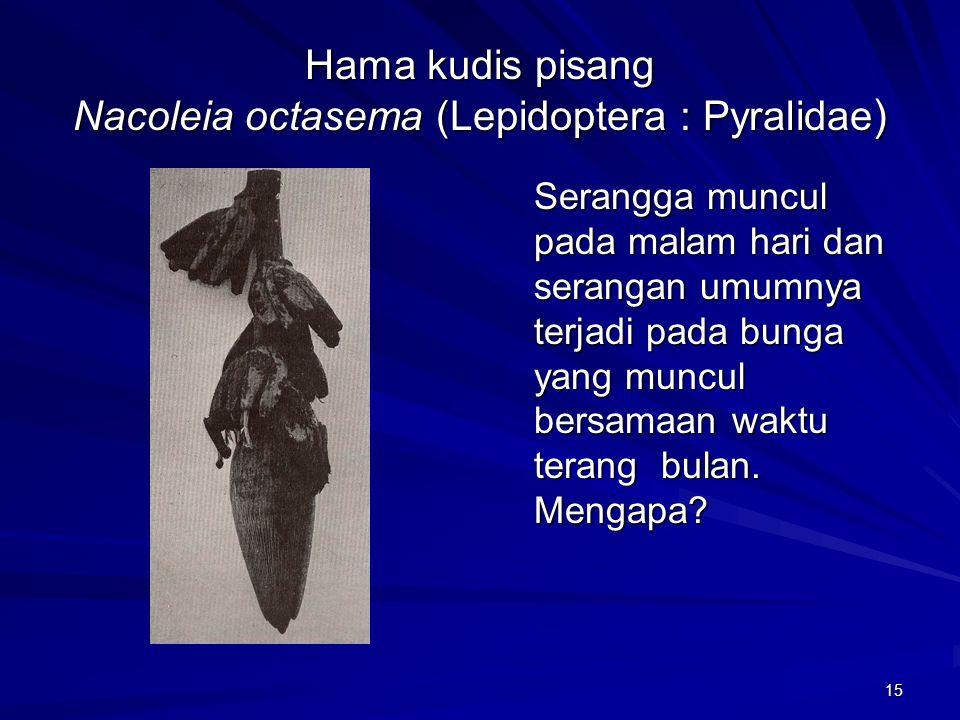 15 Hama kudis pisang Nacoleia octasema (Lepidoptera : Pyralidae ) Serangga muncul pada malam hari dan serangan umumnya terjadi pada bunga yang muncul bersamaan waktu terang bulan.