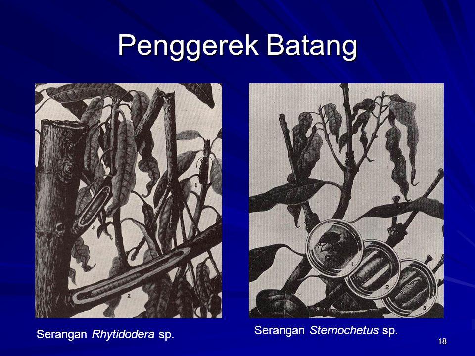 18 Penggerek Batang Serangan Rhytidodera sp. Serangan Sternochetus sp.