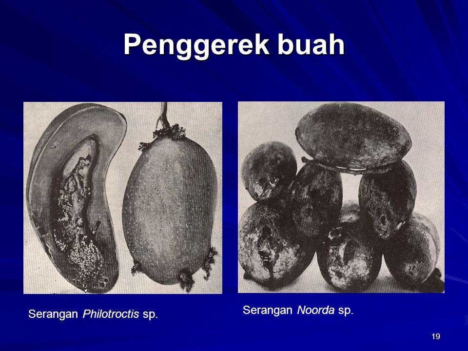 19 Penggerek buah Serangan Philotroctis sp. Serangan Noorda sp.