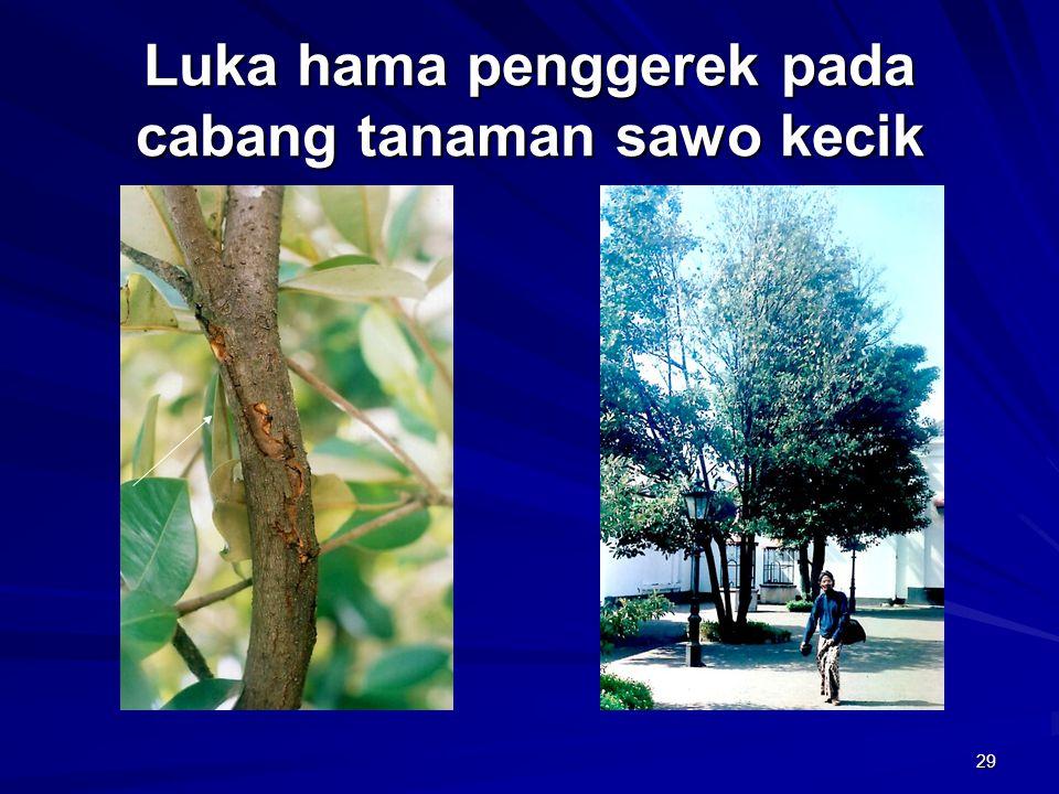 29 Luka hama penggerek pada cabang tanaman sawo kecik