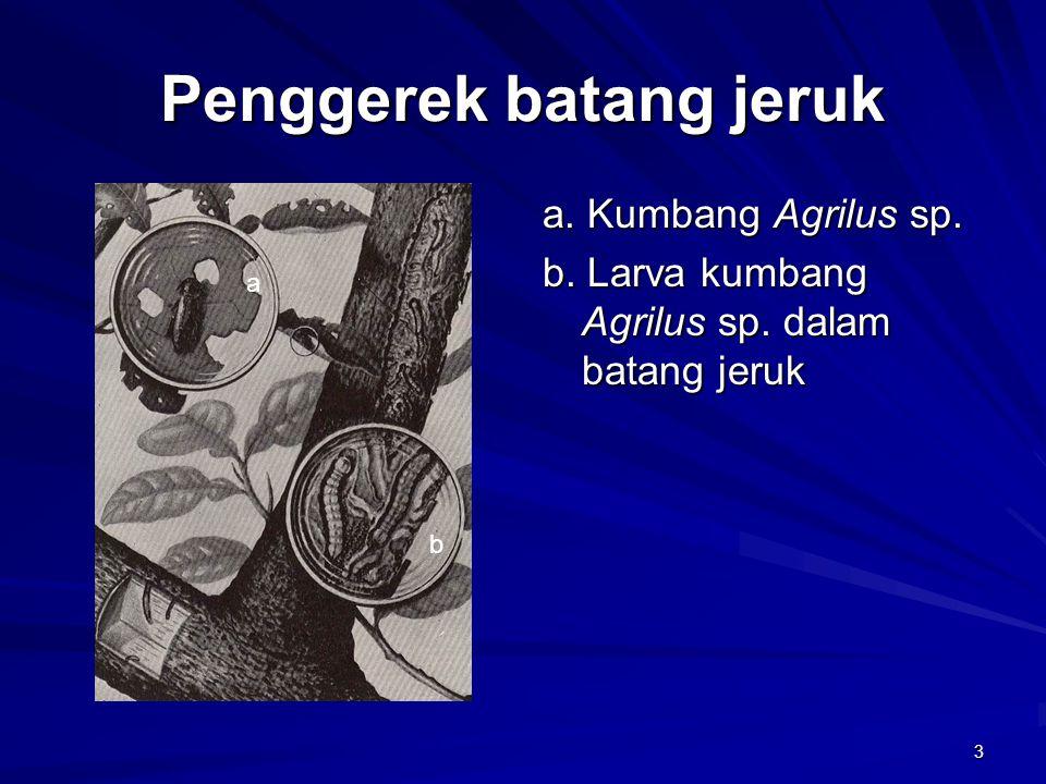 3 Penggerek batang jeruk a. Kumbang Agrilus sp. b. Larva kumbang Agrilus sp. dalam batang jeruk a b