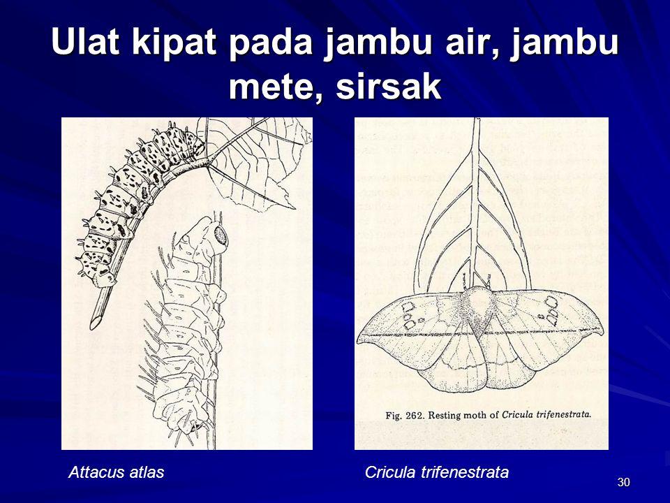 30 Ulat kipat pada jambu air, jambu mete, sirsak Attacus atlasCricula trifenestrata