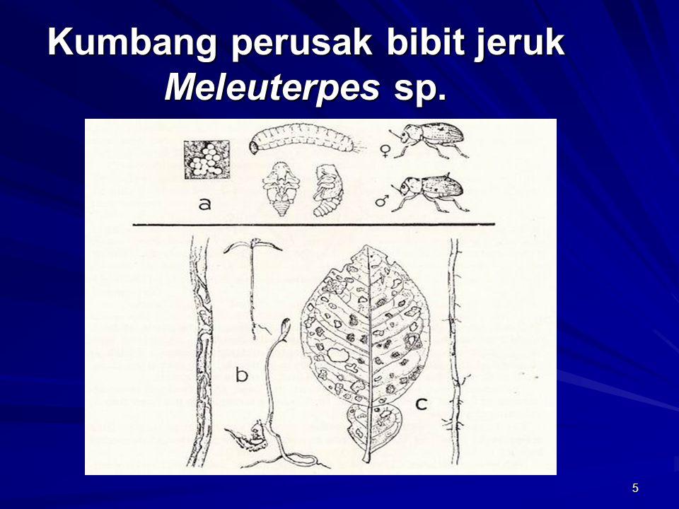 5 Kumbang perusak bibit jeruk Meleuterpes sp.