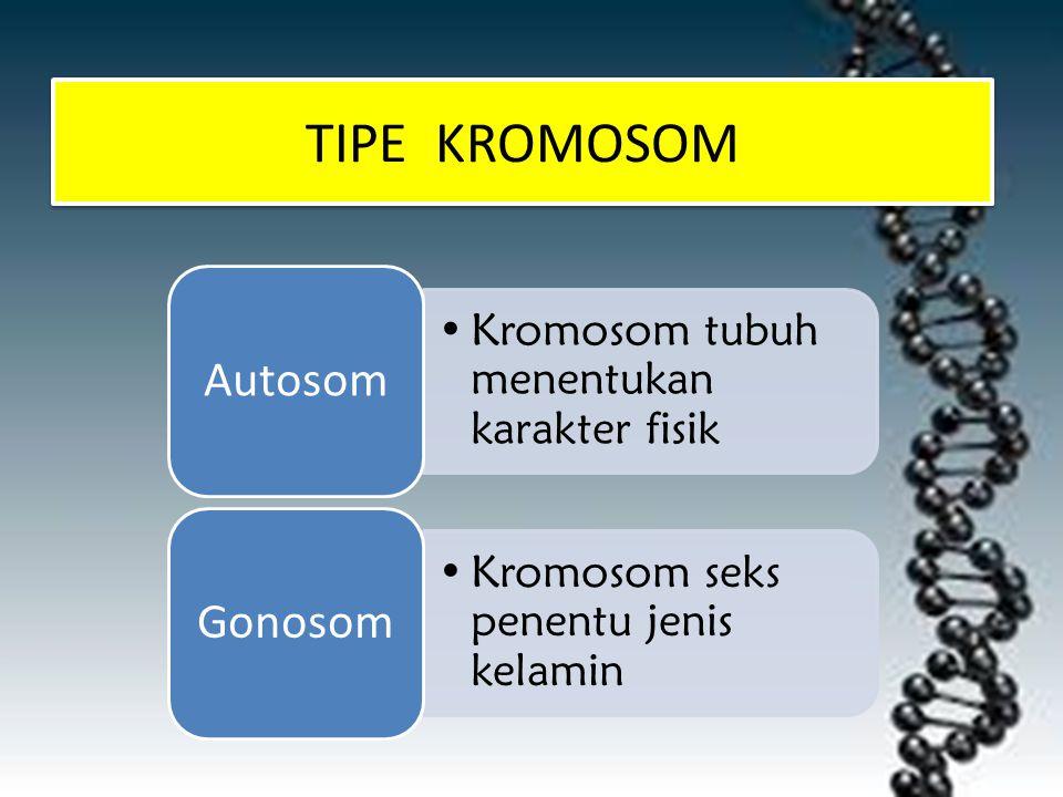 TIPE KROMOSOM Kromosom tubuh menentukan karakter fisik Autosom Kromosom seks penentu jenis kelamin Gonosom