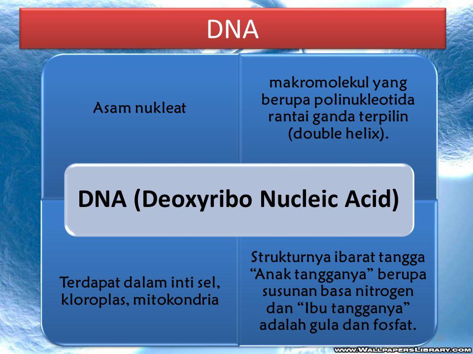 Asam nukleat makromolekul yang berupa polinukleotida rantai ganda terpilin (double helix). Terdapat dalam inti sel, kloroplas, mitokondria Strukturnya