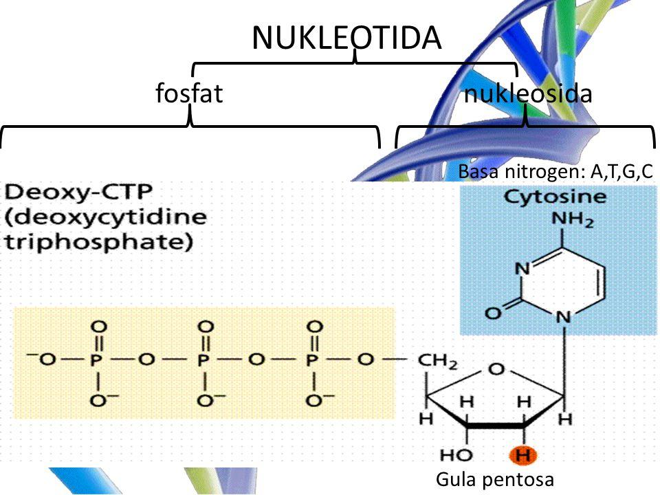 nukleosidafosfat NUKLEOTIDA Basa nitrogen: A,T,G,C Gula pentosa