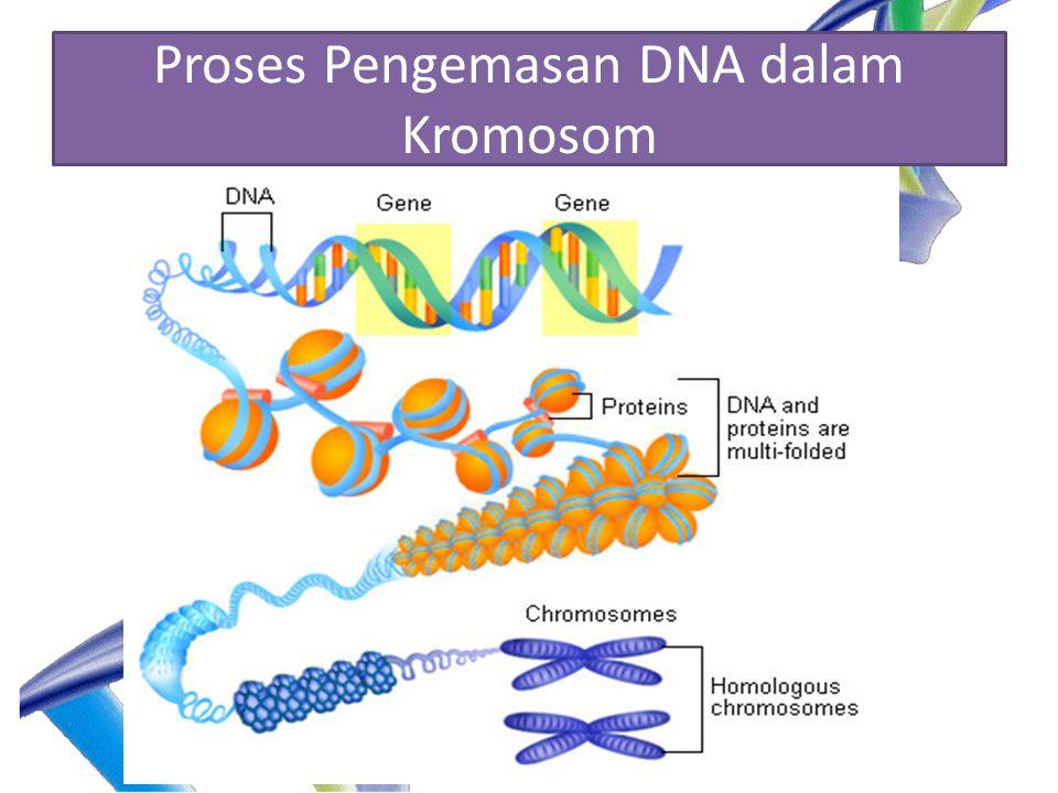Proses Pengemasan DNA dalam Kromosom