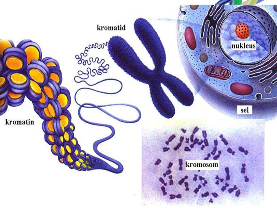 Gen adalah unit intruksi untuk menghasilkan atau mempengaruhi suatu sifat herediter tertentu.