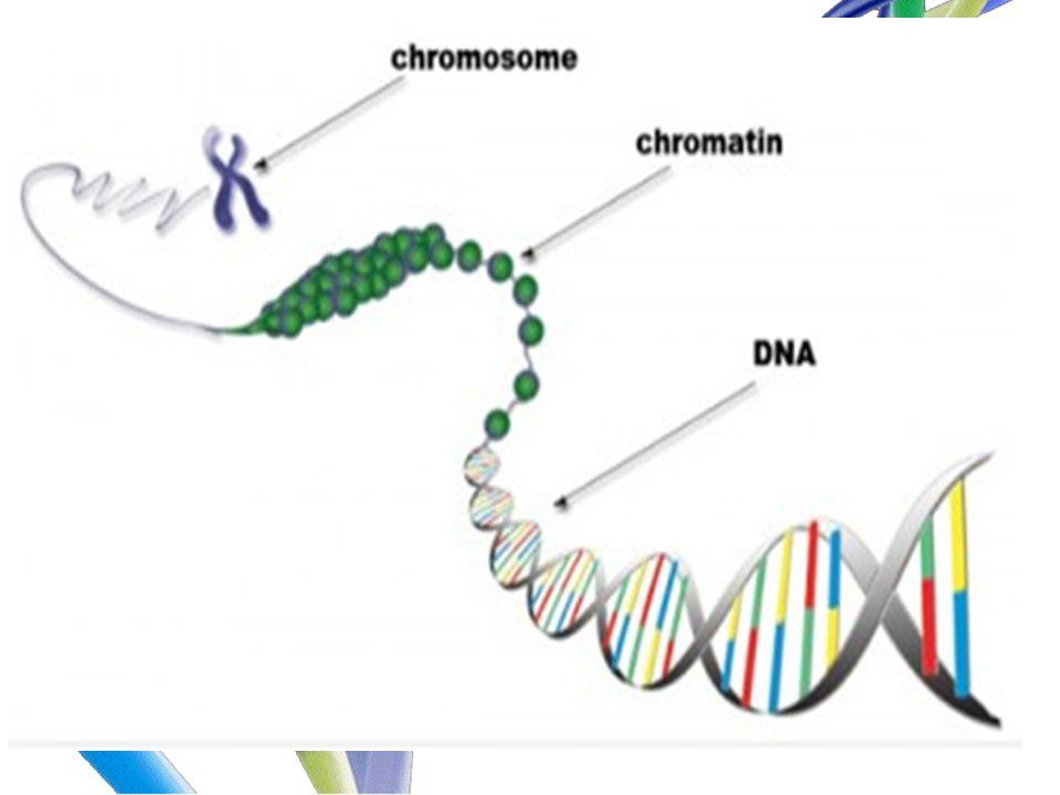 BAGIAN-BAGIAN KROMOSOM telomer satelit kromonema