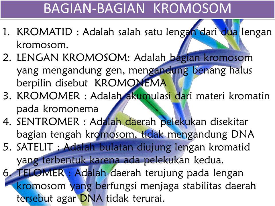 1.KROMATID : Adalah salah satu lengan dari dua lengan kromosom. 2.LENGAN KROMOSOM: Adalah bagian kromosom yang mengandung gen, mengandung benang halus