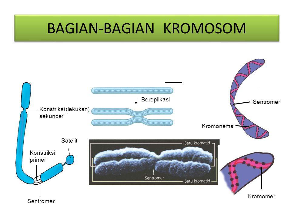 Asam nukleat makromolekul yang berupa polinukleotida rantai ganda terpilin (double helix).