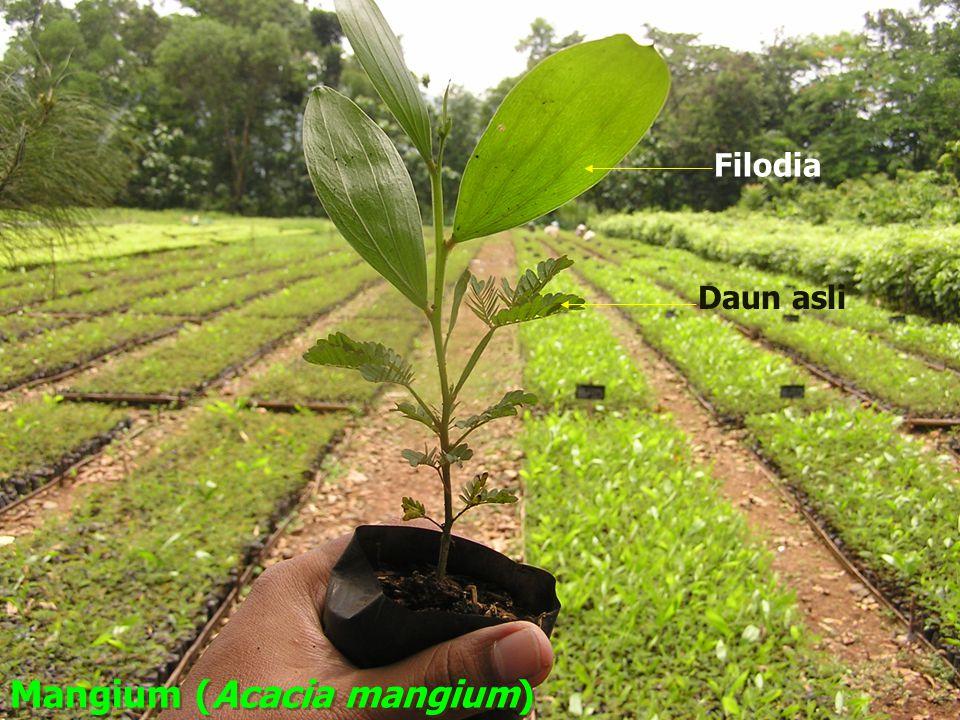 Filodia Daun asli Mangium (Acacia mangium)