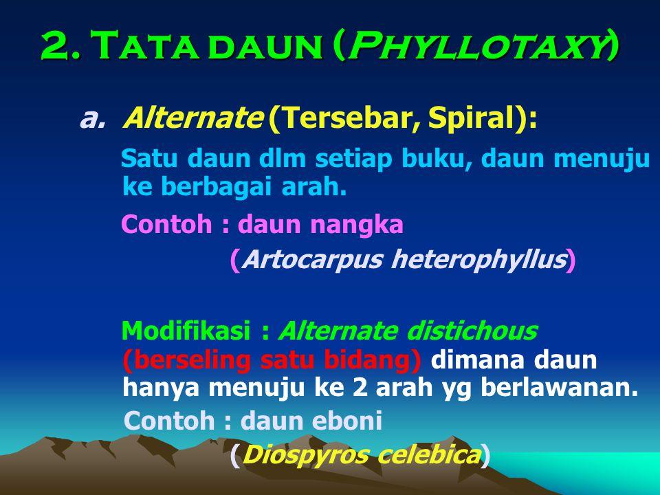 2. Tata daun (Phyllotaxy) a.Alternate (Tersebar, Spiral): Satu daun dlm setiap buku, daun menuju ke berbagai arah. Contoh : daun nangka (Artocarpus he