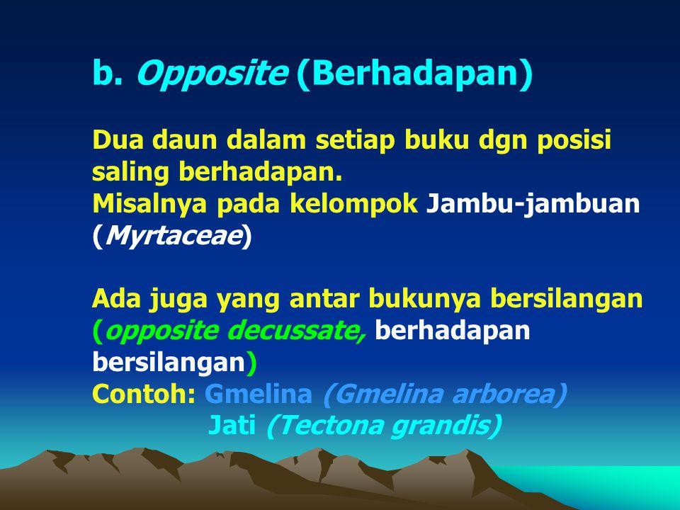 b. Opposite (Berhadapan) Dua daun dalam setiap buku dgn posisi saling berhadapan. Misalnya pada kelompok Jambu-jambuan (Myrtaceae) Ada juga yang antar