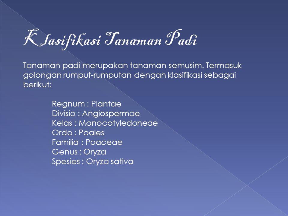 Klasifikasi Tanaman Padi Tanaman padi merupakan tanaman semusim. Termasuk golongan rumput-rumputan dengan klasifikasi sebagai berikut: Regnum : Planta